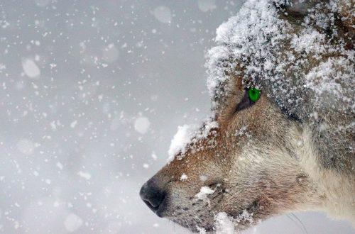 occhio del lupo